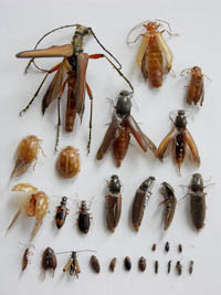 Beetles sampled from traps in the Hainich forest
